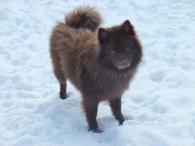 Chien Finnois de Laponie ou Lapinkoïra - Page 3 P005_1_05